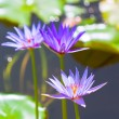 Lily Pond — Stock Photo #5308162