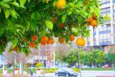 Mandarin tree in a city — Stock Photo