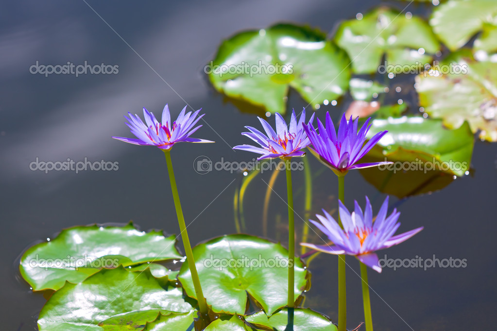 Eautiful water lilies at a park pond. horizontal shot — Stock Photo #5350994