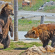 Brown Bears in Croatia — Stock Photo