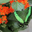 Big exotic green butterflies — Stock Photo