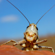 Royalty-Free Stock Photo: Gray smiling grasshopper
