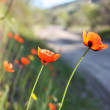 Wild Red Poppies — Stock Photo