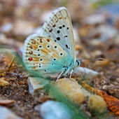 Common Blue Butterfly — Stock Photo