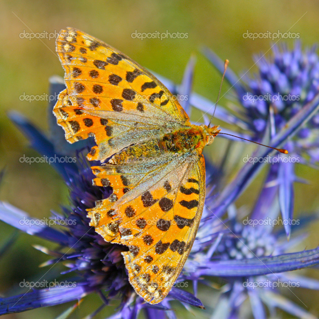 Cranberry Fritillary (Boloria aquilonaris) sitting on a leaf  — Stock Photo #4990946