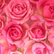 Single pink rose  isolated — Stock Photo