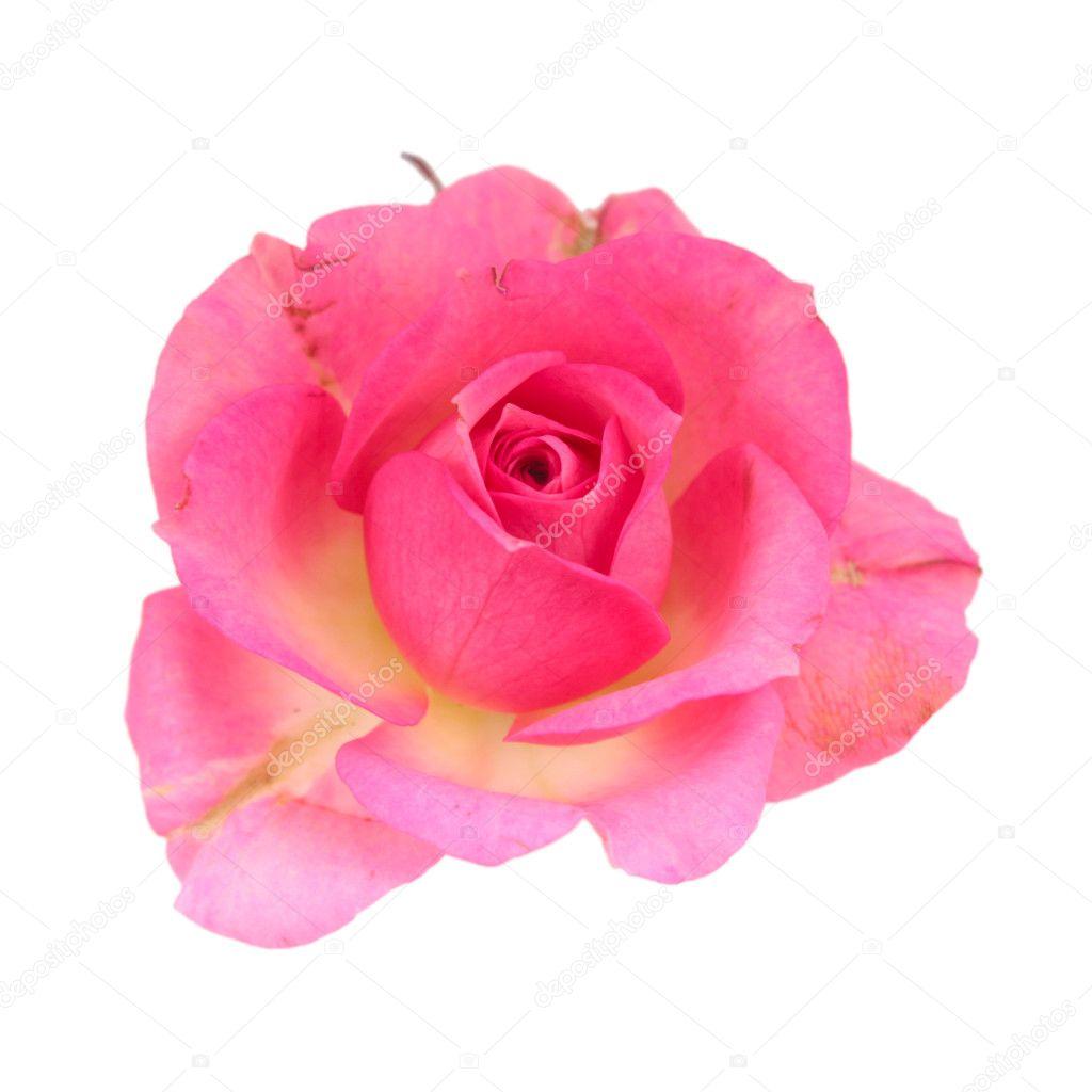 Single Pink Rose Stock Images RoyaltyFree Images