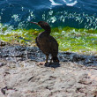 Stock Photo: Cormorant on Rock
