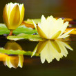 White yellow lotus flower - Stock Photo