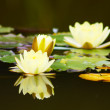 White yellow lotus flower — Stock Photo