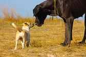Beautiful big black dog — Stock Photo