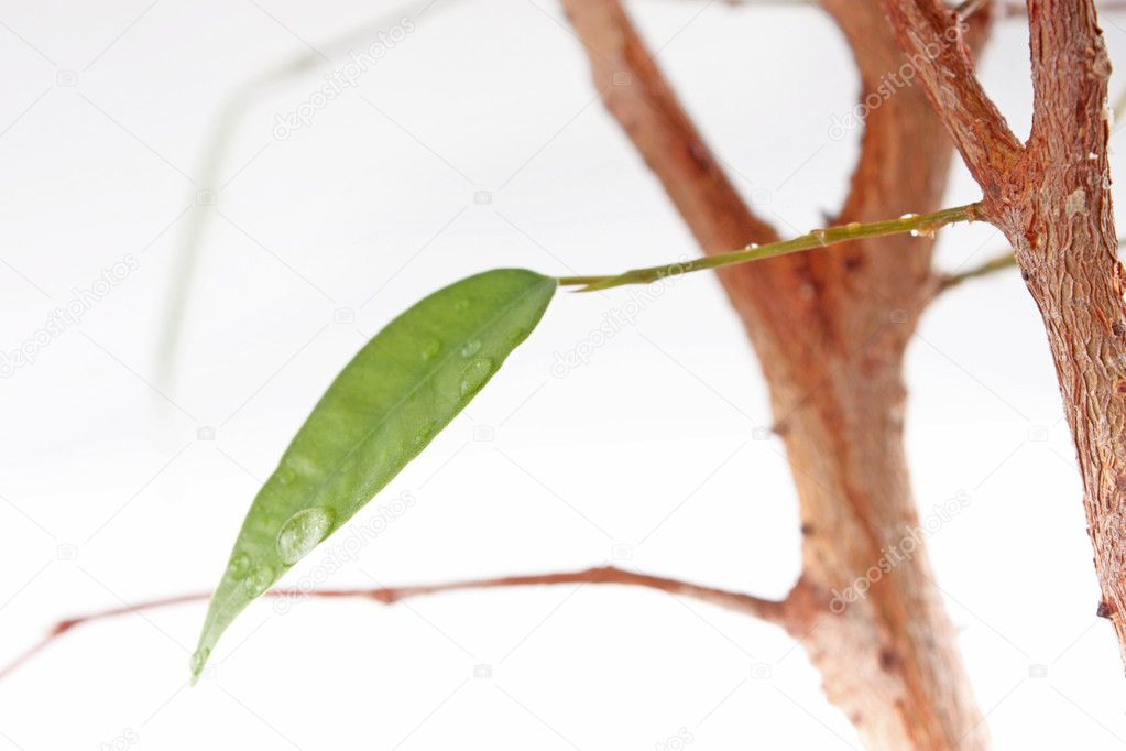 Fresh green ficus leaf with water-drops — Stock Photo #5376307