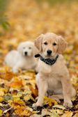Portrait dog - golden retriever — Stock Photo