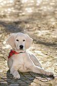 Stående hund - golden retriever — Stockfoto