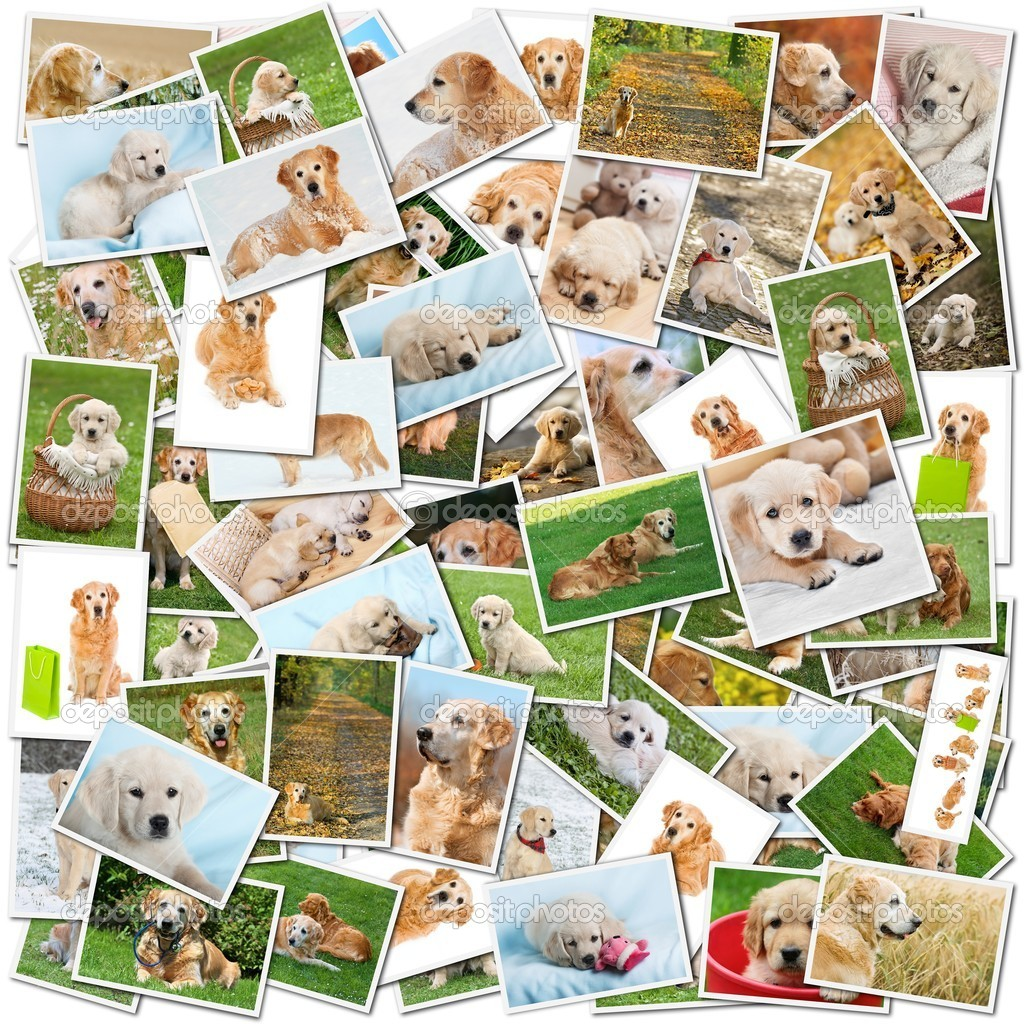 A collage of photos of golden retriever, a collection of photos isolated on a white background, which can be found in high resolution in my portfolio. — Stock Photo #4465919