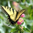 Stockfoto: Yellow Swallowtail Butterfly