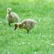 Canada Goose Gosling — Stock Photo #5342755