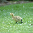 Canada Goose Gosling — Stock Photo #5342762