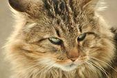 Domestic House Cat — Stock Photo