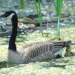 Mother Goose and Goslings - Stock Photo