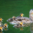 Mallard Duck Family — Stock Photo #5363067
