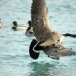Canada Goose In Flight — Stock Photo