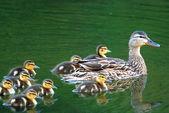 Mallard Duck Family — Stock Photo