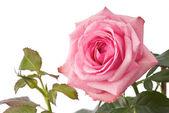 Růžová růže — Stock fotografie