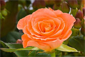 Salmon colored rose — Stock Photo