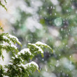 Fresh snow falling on cedar pine tree branches — Stock Photo