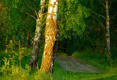 Footpath in the birch grove. — Stock Photo