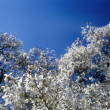 White magnolia soulangeana in bloom against blue sky. — Stock Photo