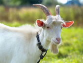 Goat on green meadow — Stock Photo