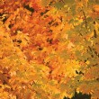 Abstract red and golden maple leaf autumn background — Stockfoto