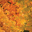 Abstract red and golden maple leaf autumn background - Stock Photo