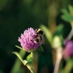 Bumblebee On Clover — Stock Photo