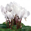 Soft White Cyclamens Closeup Isolated - Stock Photo