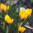 Yellow Crocus Flowers, Croci Closeup, Crocuses - Stock Photo