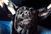 Expressive dog — Stock Photo