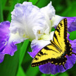 Butterfly and Iris — Stockfoto
