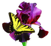 Butterfly and Iris — Stock Photo