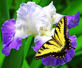 Butterfly and Iris — Fotografia Stock