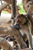 Monkey in tree — Stock Photo