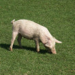 Stock Photo: Pig on farm