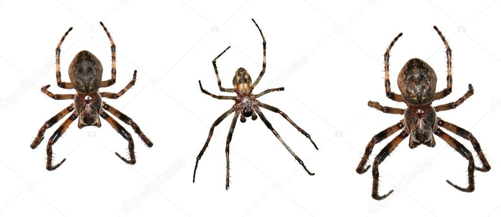 Isolated spiders. — Stock Photo #4100363