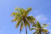 Palm Trees — Photo