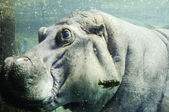 Hippo underwater — Stock Photo