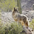 Lone Coyote - Stock Photo