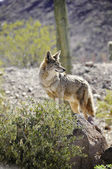 Lone Coyote — Stock Photo