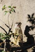 Meerkat — Photo